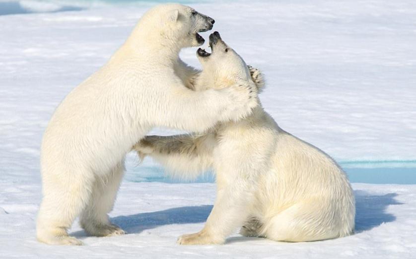 Kutup ayıları solak mıdır?